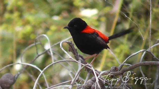 Red Backed Fairy Wren (Malurus melanocephalus )