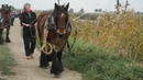 26 barges towed by 40 beautiful draft horses in Steenbergen (Bietentocht)