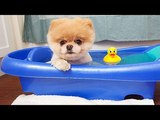 Boo - The World's Cutest Dog Video Compilation Pomeranian Puppies cute pet