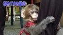 メッチャ可愛い赤ちゃん猿第④話初めてのお散歩です!Pretty cute baby monkeyEpisode4 It's my first
