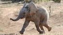 Funny Baby Elephants Compilation - Best Vine 2018