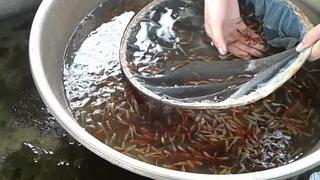 Cách Chọn Cá Bảy Màu Trống Đỏ Vàng Đẹp Nhất