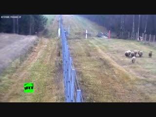 Камеры сняли побег восьми овец из Литвы в Белоруссию