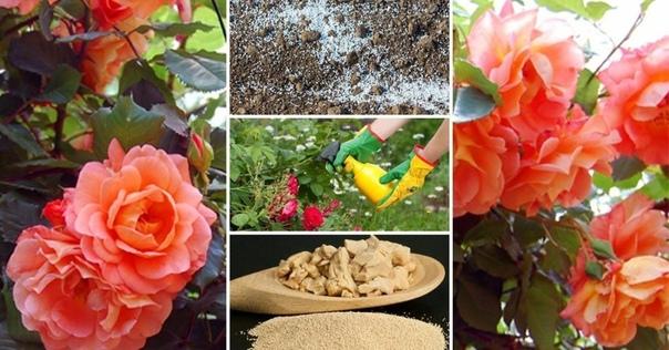 Как удобрять розы весной, летом и осенью - раскрываем секреты