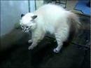 Говорящие Коты! Ню ню ню !!! Смешные Видео