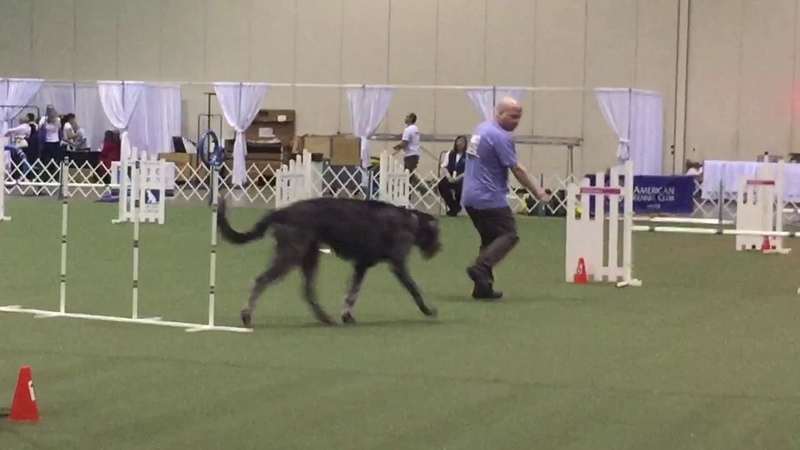 Dauphine's Clean Round 1 JWW at the 2016 AKC Agility Invitational -100 score
