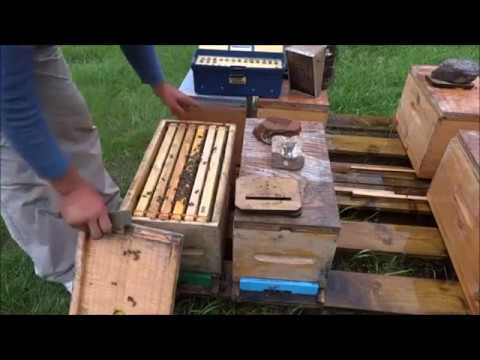 Как получить много мёда от отводков?