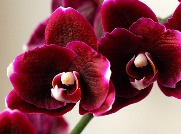 Как поливать орхидею. Полив орхидеи важная составляющая ухода за этим капризным аристократом.После пересадки не стоит беспокоить цветок поливом 3-4 дня, так как корни травмированы и им нужно