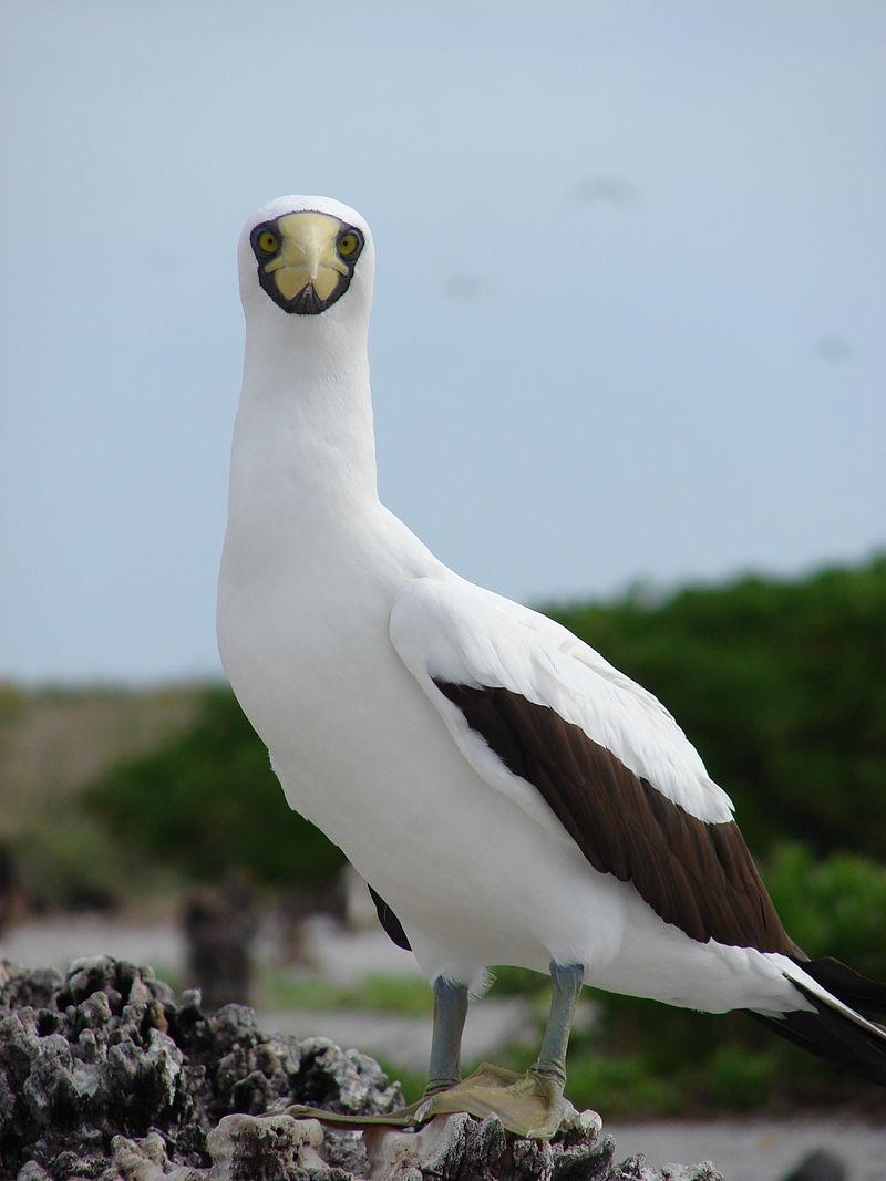Птица олуша. Голуболицая олуша
