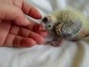 Попугаи нимфы - кореллы Кузя и Фиби разведение 13 Птенец кореллы Breeding Corell.