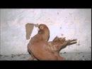 Породы голубей Ростовский статный