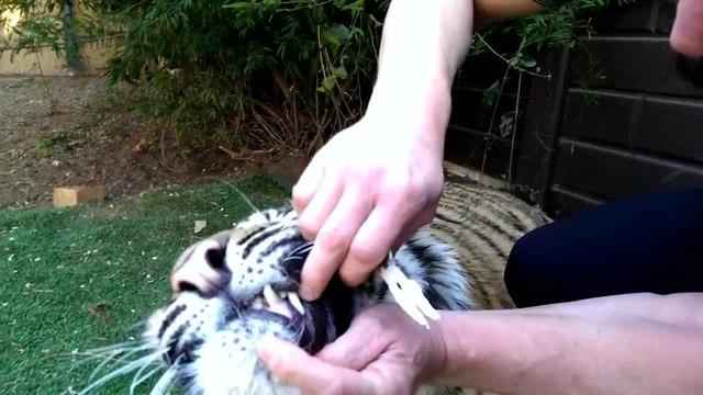тигру выдергивают жуб