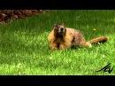 Cурок | Groundhog - Marmota monax