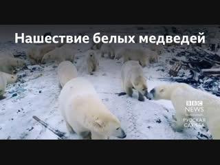 Нашествие белых медведей на Новой Земле