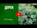 Дерен ✅ Сорта ✅ Как украсить сад декоративным кустарником