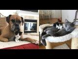 Котенок, спасенный от усыпления, повсюду искал маму Его усыновили собака и кот!