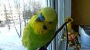 Волнистый ПОПУГАЙ САМЫЙ УМНЫЙ ПОПУГАЙ Воскресное УТРО попугая ТОШИ зеленый попугайчик TV