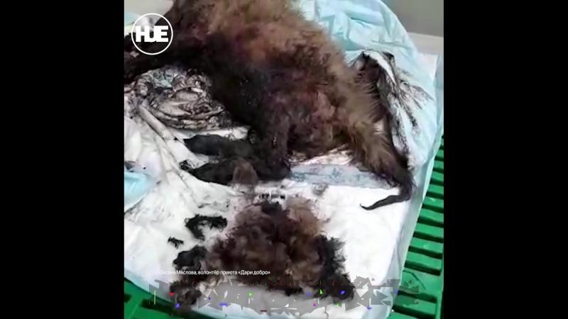 Зоозащитники в Новосибирске спасли щенка из ямы с гудроном