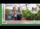 Пасынкование низкорослых томатов Формировка в 3 стебля