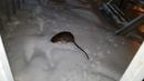 Крыса размером с кошку никого не боится