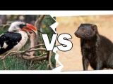 Птица-Носорог и Мангуст  — у кого крепче нервы