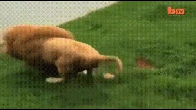 Я Лев ! Я Царь зверей Ой.....мячик !
