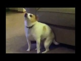 Собака танцует под Eminem и Nate Dogg