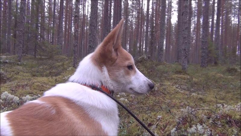 Малыш Koppelokairan Lahja Hessu (Дарик) прогулка в Финляндии перед отъездом в Россию2018
