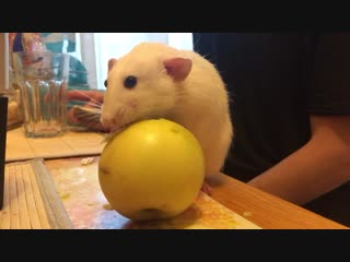 Клык ест яблоко