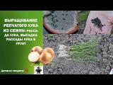 Выращивание репчатого лука из семян: рассада лука, высадка рассады в грунт.