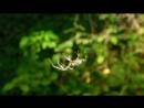 Паук плетет паутину (видео Сабуровой О. В.)