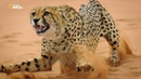 Nat Geo Wild Большие кошки Удивительная семья. Часть 2 Покорители Нового мира 1080р