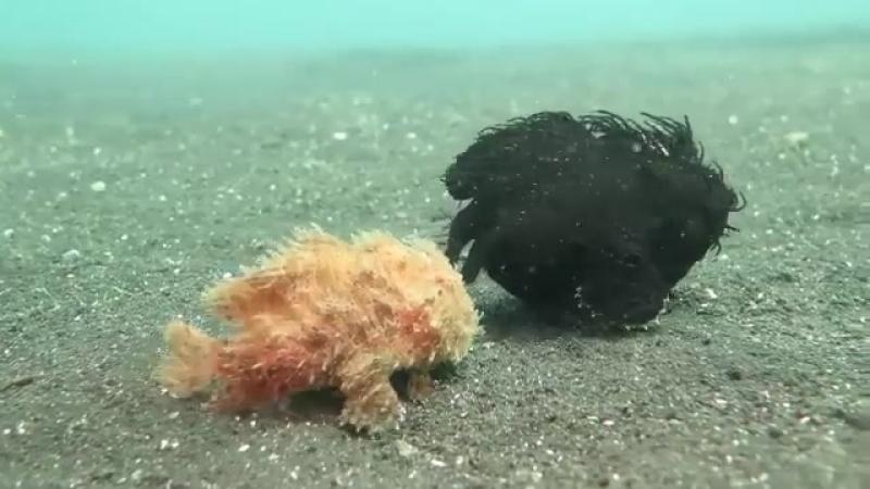 Два удивителных волосатых удильщика прогуливаються по морскому дну