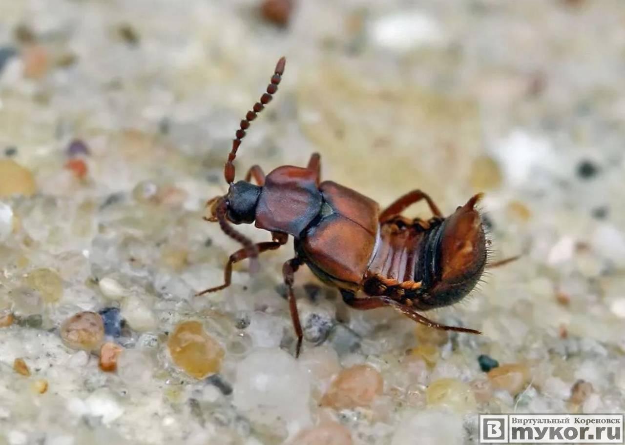 Ломехуза - дилер муравьиного наркотика