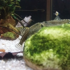 """Aquarium Decoration Design Arm on Instagram: """"#aquarium #aquascape #aquariumfish #tropicalfish #sewelliamarmorata #аквариум #акваскейп #севилияпвсе..."""