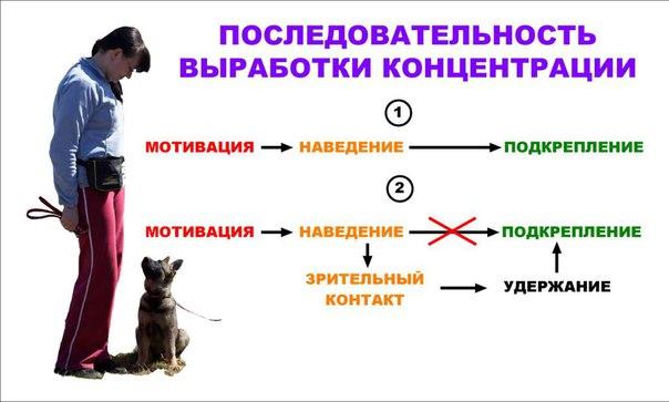 Контакт и концентрация  - это основа дрессировки и послушания собаки. DeicKrsup0M