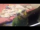 Попугай Валера снимает белье Венесуэльский амазон