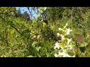 Любка двулистная (Platanthera bifolia)