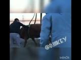 Cпасение тонущей коровы