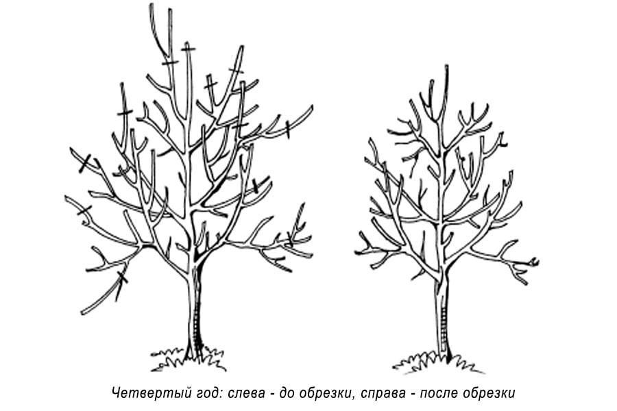 Обрезка и формирование кроны молодой яблони
