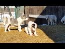 Щенки САО, 3 мес. (Гром с Алтай Аян х Бизарта)