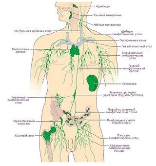 Лимфатическая система - часть сосудистой системы, участвующая вместе с венозным руслом в оттоке жидкостей от тканей...