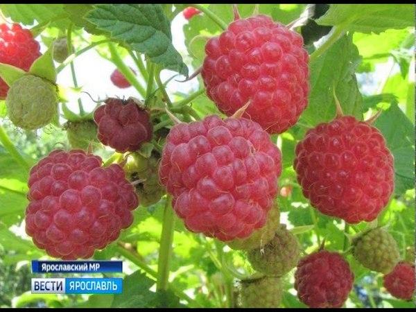 Ароматные поля жительница Красных Ткачей выращивает целую плантацию ягод