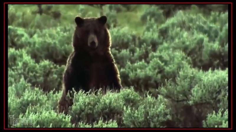 Ataques Mortais | Urso vs Lobo - Melhores Batalhas