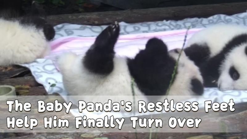 The Baby Panda's Restless Feet Help Him Finally Turn Over | iPanda