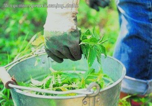 КРАПИВА - НЕЗАМЕНИМЫЙ ПОМОЩНИК В ОГОРОДЕ! Давно подмечено: там, где растет крапива, плодородная, здоровая почва, на которой прекрасно себя чувствуют все культуры, в том числе и