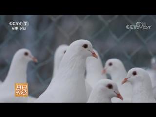 Голубь ''ГэЦзы''. Голуби ''ГэПай''. Голубеводство ''ЯнГэ Е''. Разведение голубей в промышленных масштабах, на особых фермах, для