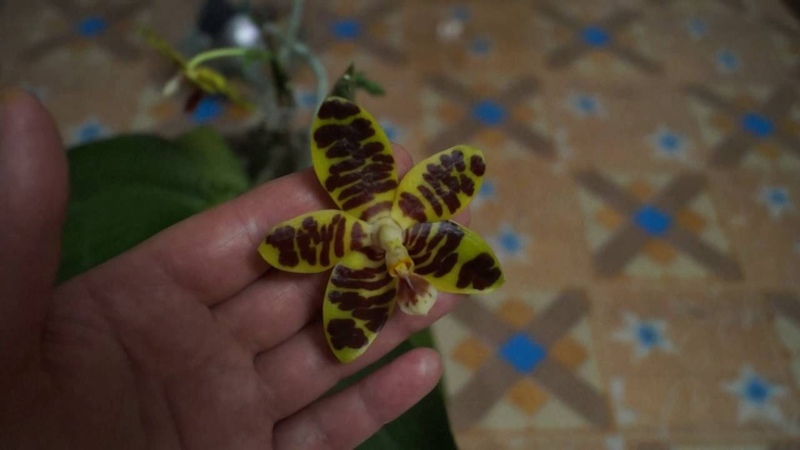 Орхидея фаленопсис David Lim