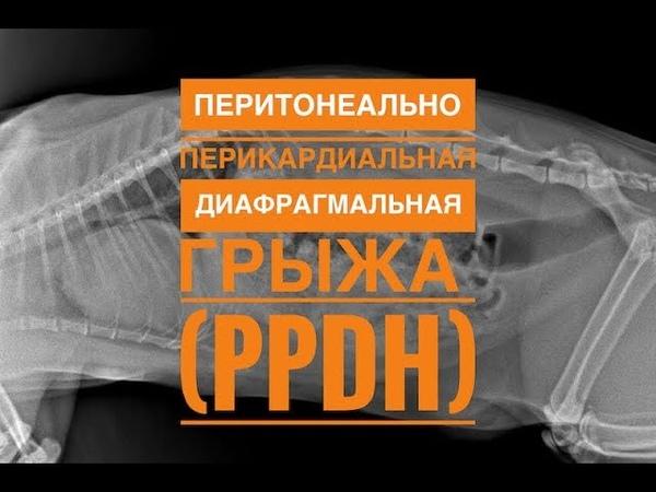 Перитонеально перикардиальная диафрагмальная грыжа у кошки