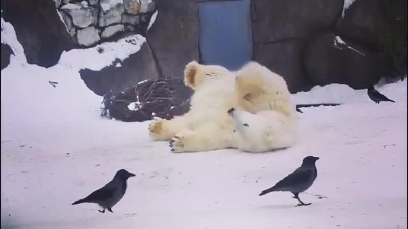 Приставучие вороны лезут к белому мишке